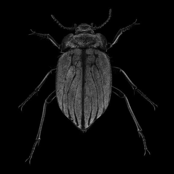Gyriosomus Elongatus
