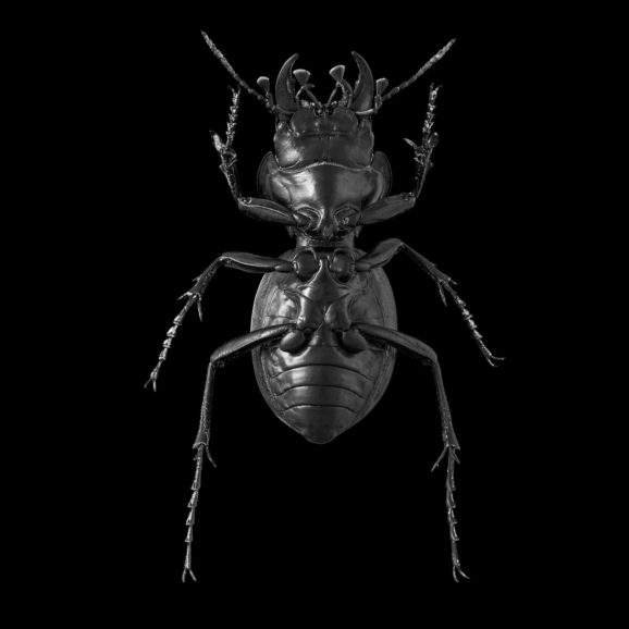Mouhotia Planipennis 2