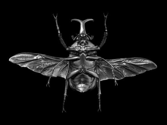 Megalorrhina Harrisi Peregrina Quadrimaculata